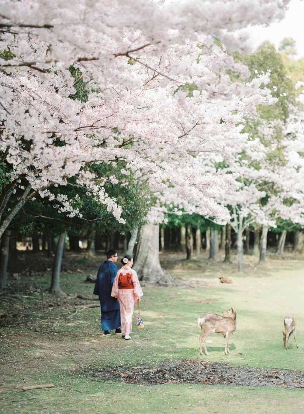 deer and cherry blossom engagement   nara, japan