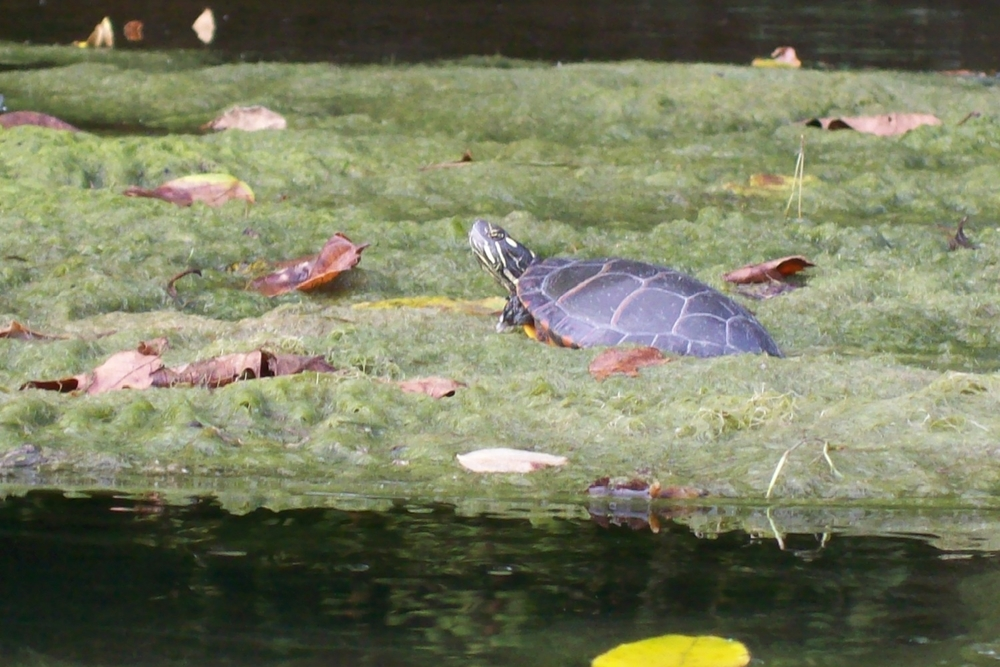 algae turtle.JPG