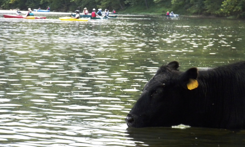 cows 1.jpg