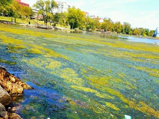 Oronoco Bay covered in algae.