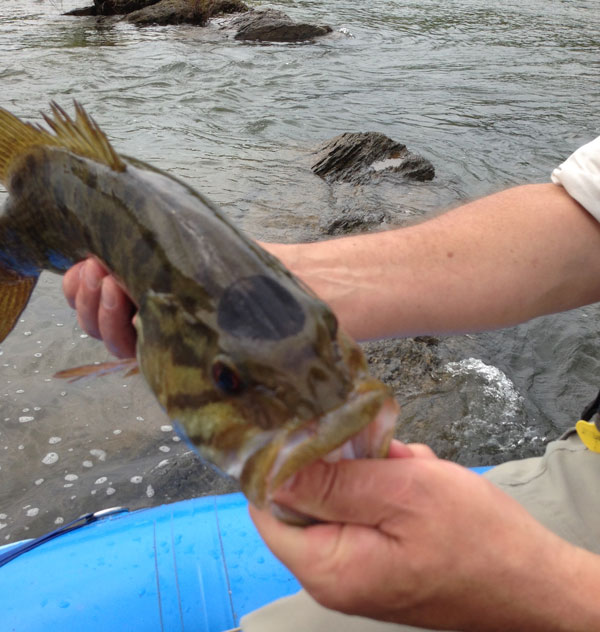 Shenandoah smallmouth bass with black spot.