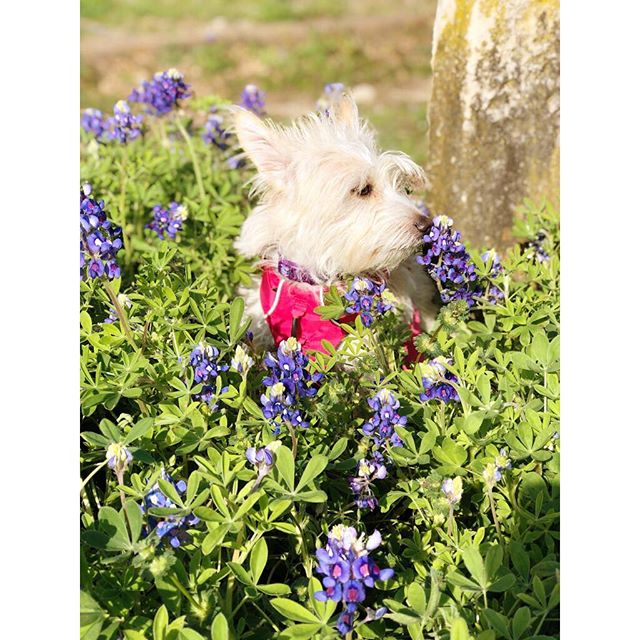 "Obligatory ""Texas dog in the bluebonnets"" photo, 2019."
