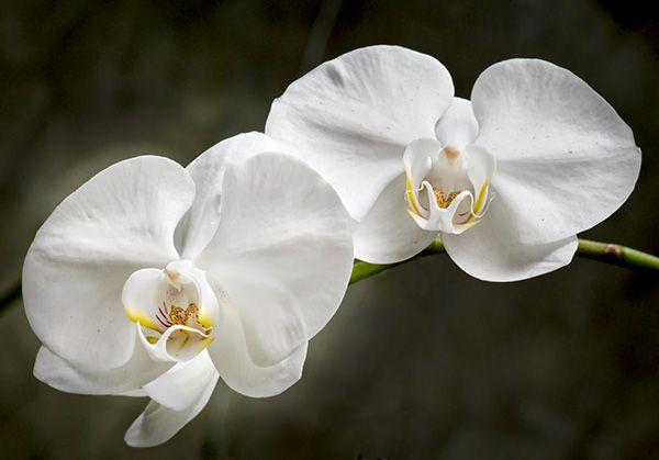 Phalaenopsis_Orchid.jpg