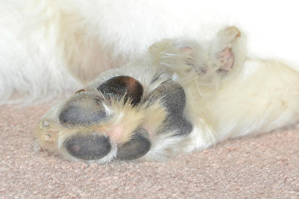 Kelp Moisturizer on Dog Paws