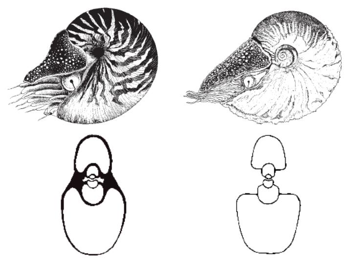 Allonautilus_vs_Nautilus.png
