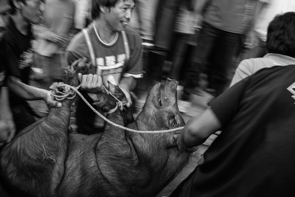 Men prepares a pig to be butchered as a part of a ritual for a communal feast. Bashoy Village, Kabayan, Benguet.
