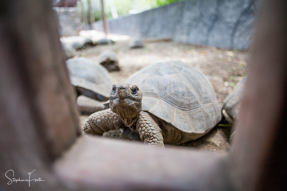This little tortoise was photographed at one of the breeding centres for the Galapagos Giant Tortoises, this is where they rear the young ones successfully before releasing them into the wild.