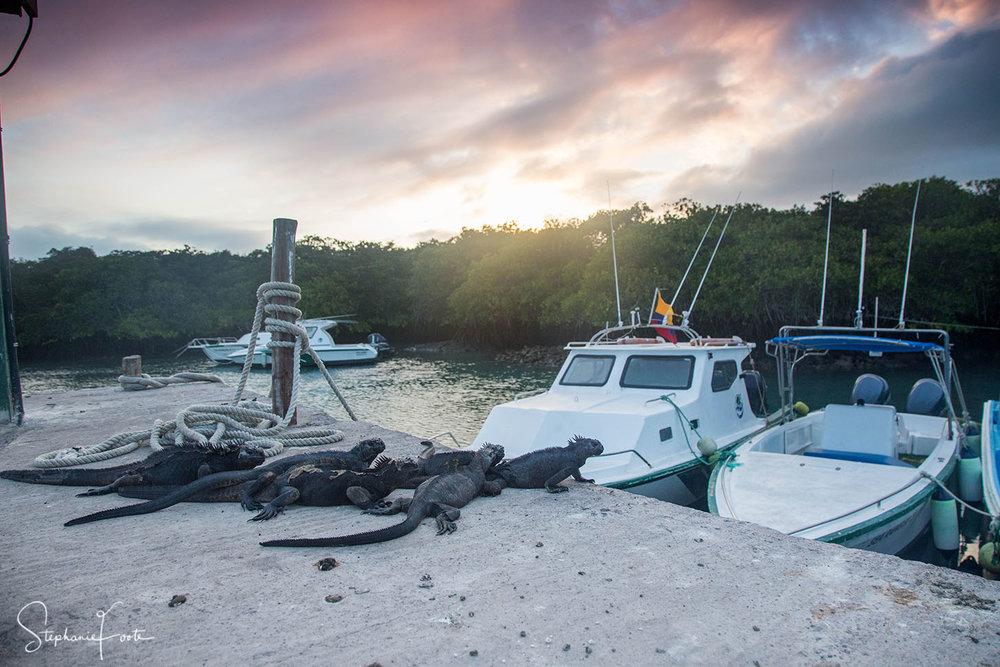Marine Iguanas bathing in the last light as the sun sets on Santa Cruz.