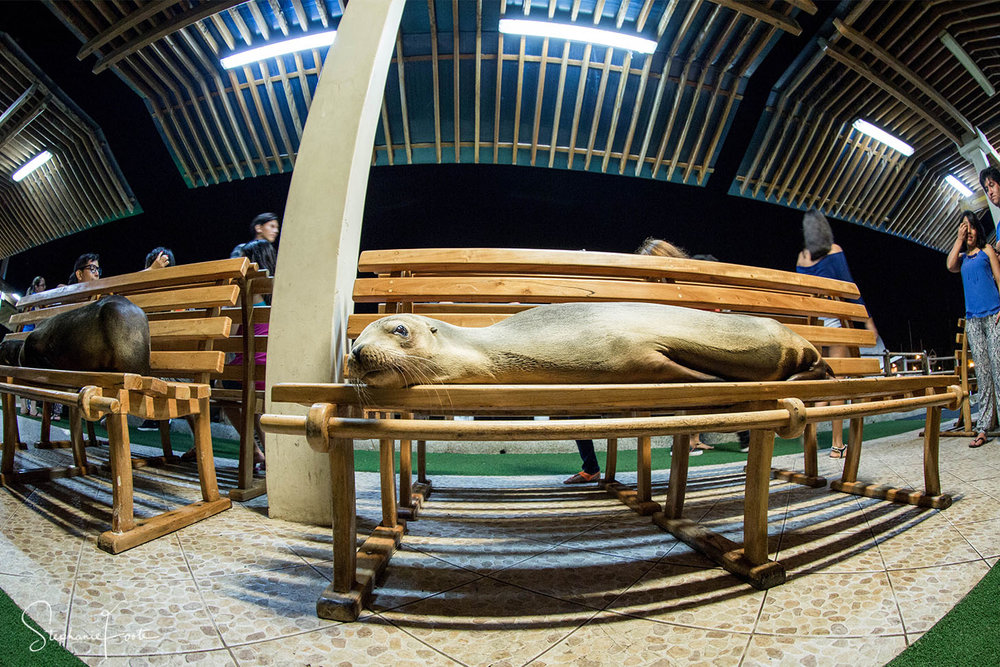 Napping on benches is a regular behaviour for these sea lions.