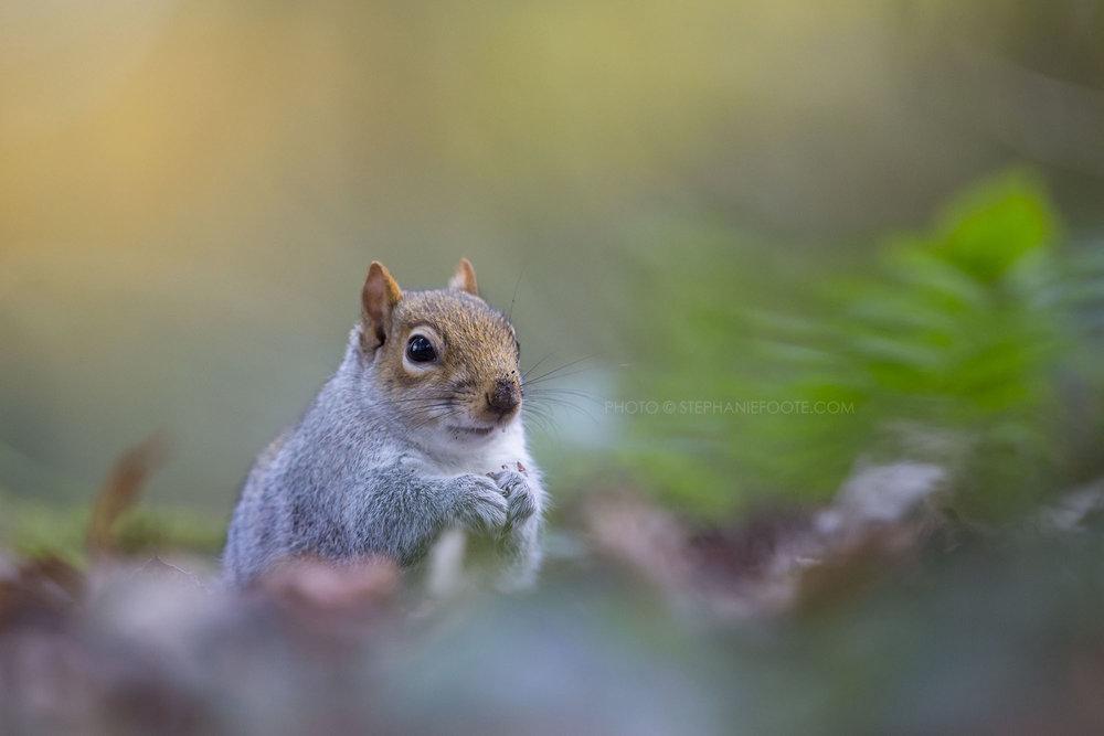 Grey Squirrel, Tehidy Country Park, UK 1.jpg