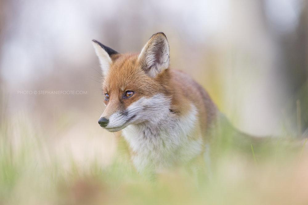 NL5A0025 Red Fox Stephanie Foote.jpg