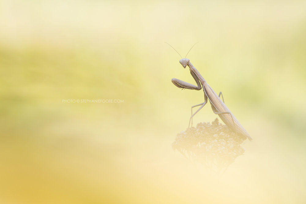 Smaller species often go overlooked, but fascinating invertebrates like European praying mantis can be spotted close to the city, sat atop plants in wait for prey.