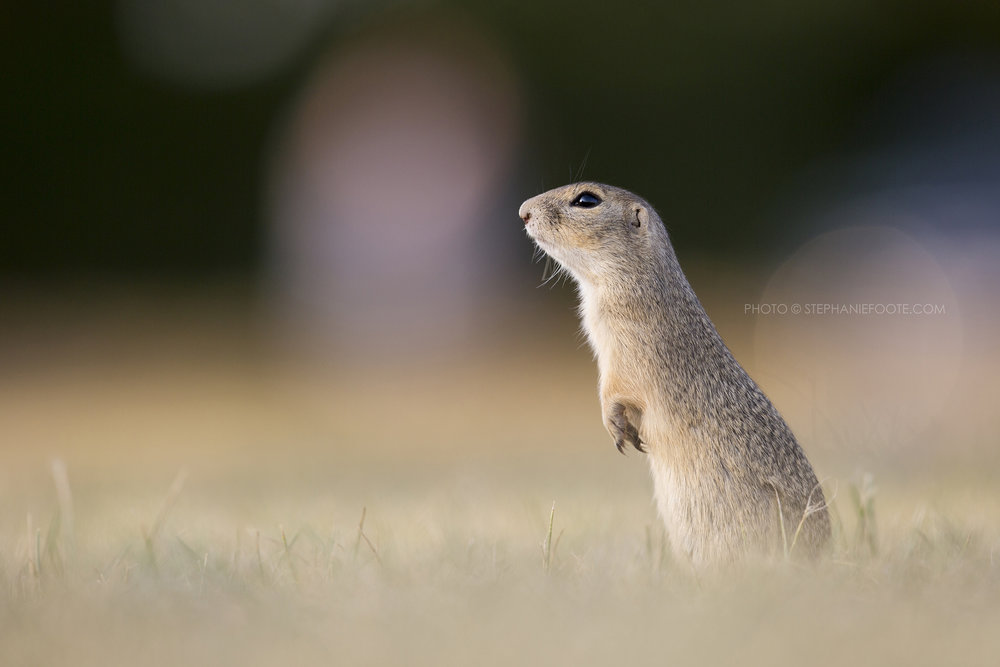 In Austria ground squirrel populations are increasingly fragmented. Small isolated populations can quickly become extinct.
