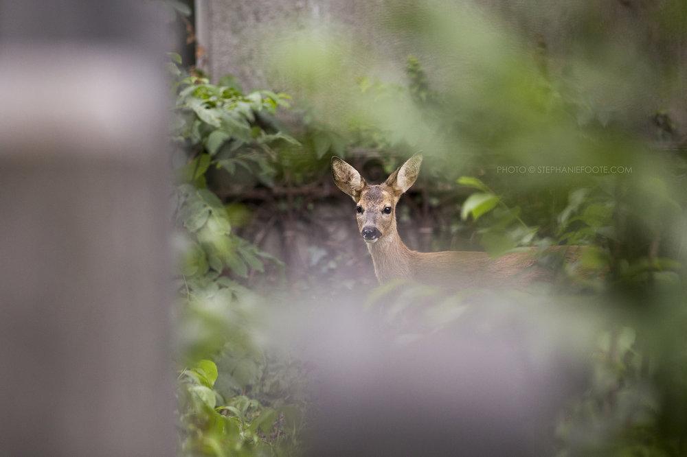 Graceful roe deer make their home in the cities cemeteries.