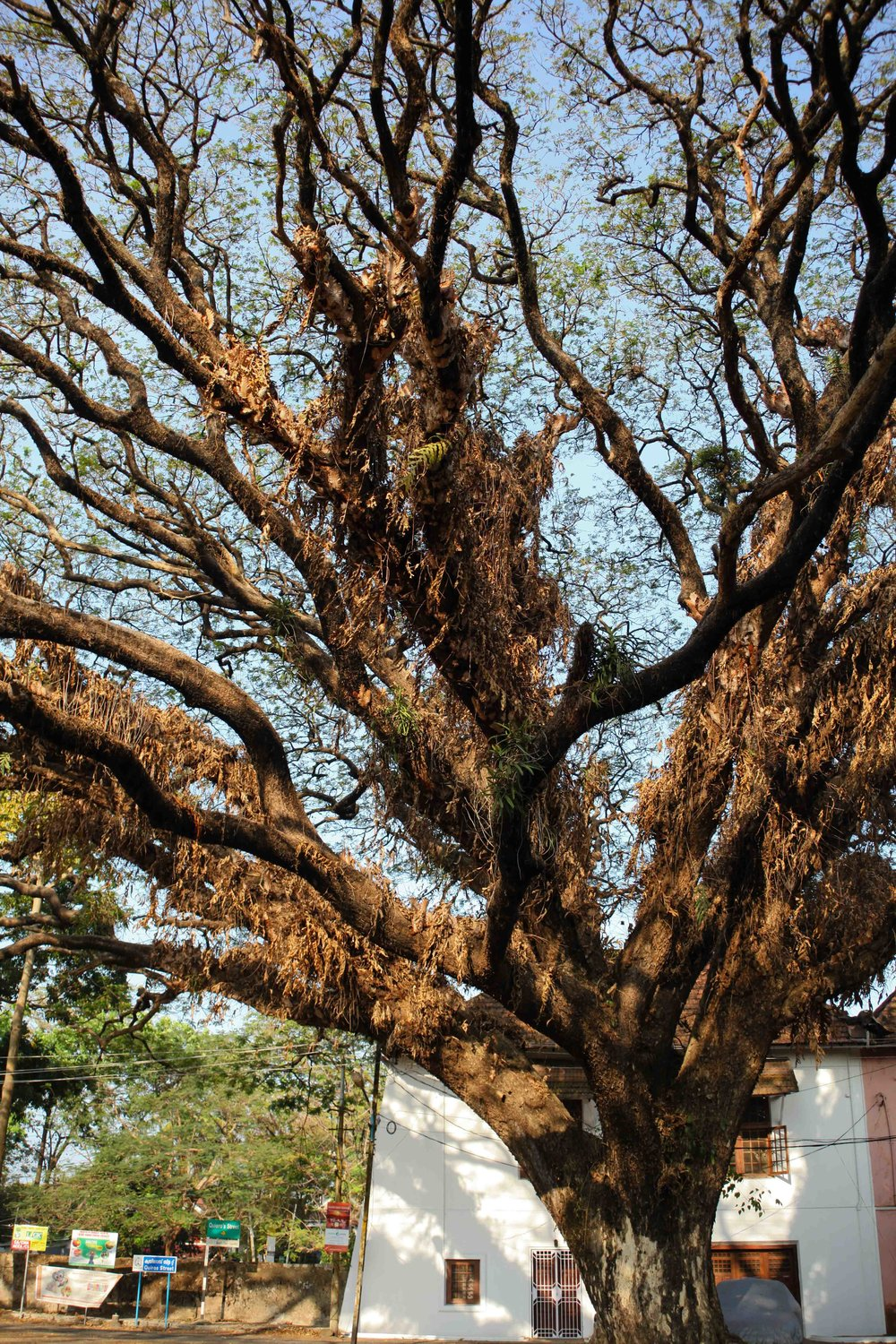 My first encounter with the majestic and sacred peepal tree.
