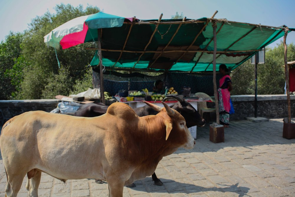The cows at Elephanta Island
