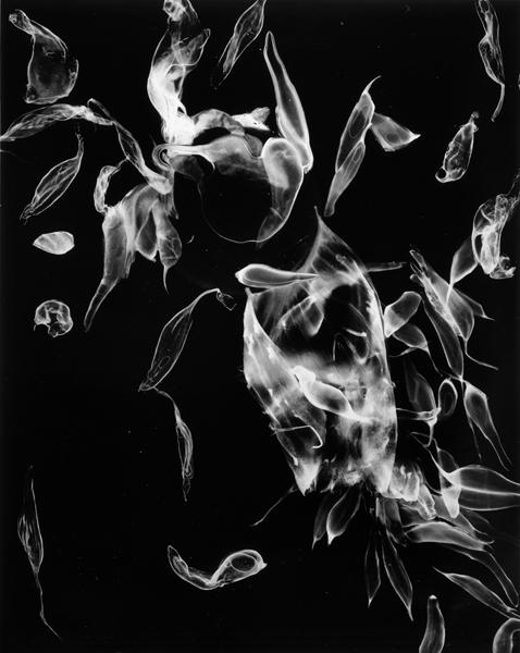 "Pulp and skin  ,  2000, 40"" x 30"", Unique Silver print"