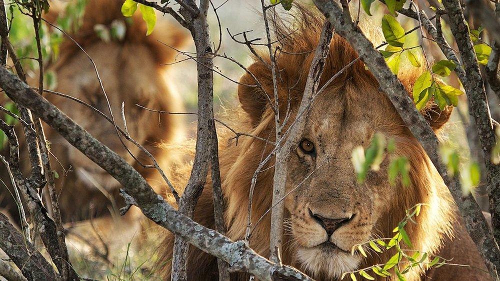 lion kenya gallery.jpeg