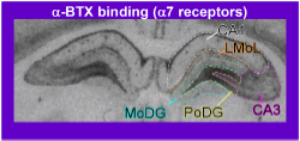 Representative coronal section depicting a-BTX binding in the hippocampus of a rat. a-BTX selectively binds to alpha7 nAChRs, allowing for quantification of alpha7 receptors in the brain.