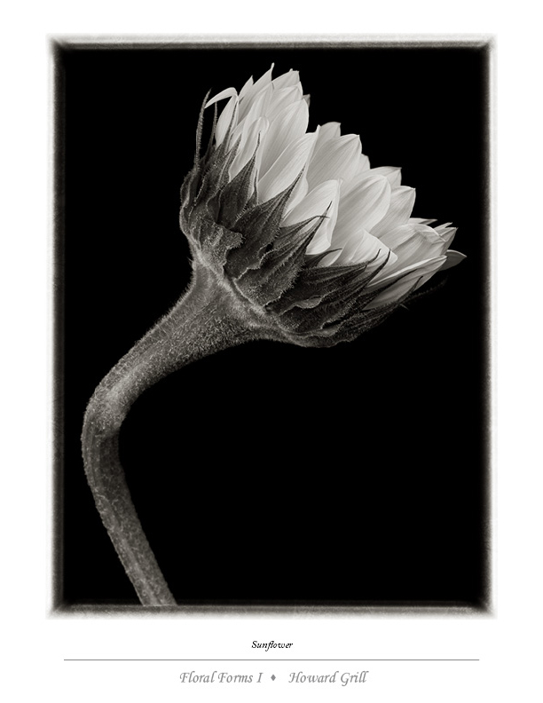 Black and white sunflower photograph