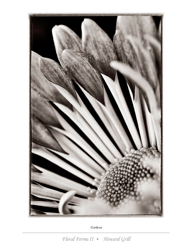 Black and white gerbera photograph from the Floral Forms II folio.
