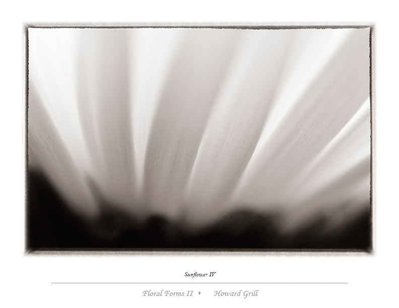 Black and white sunflower photograph from the Floral Forms II folio.