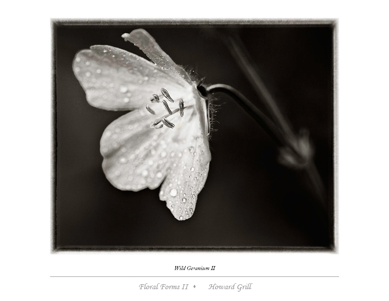 Black and white wild geranium photograph from the Floral Forms II folio.