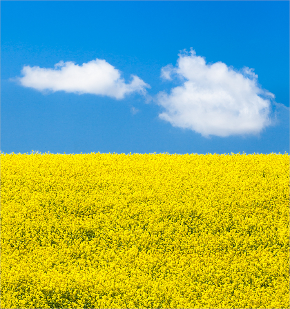 Yellow field of canola flowers in the Palouse.