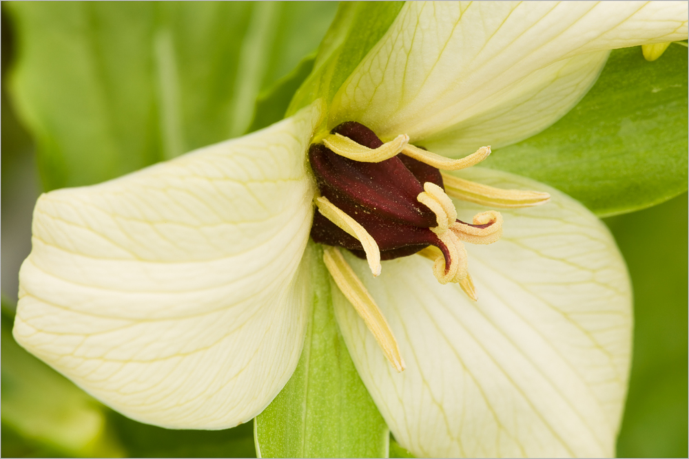 Trillium erectum forma luteum, Hell's Hollow, McConnell's Mill State Park  © Howard Grill