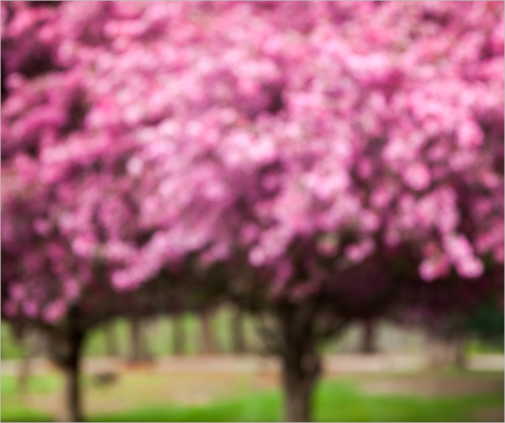 Pink Trees, Unfocused Series     © Howard Grill