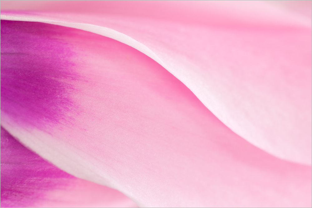 Cyclamen Abstract    © Howard Grill