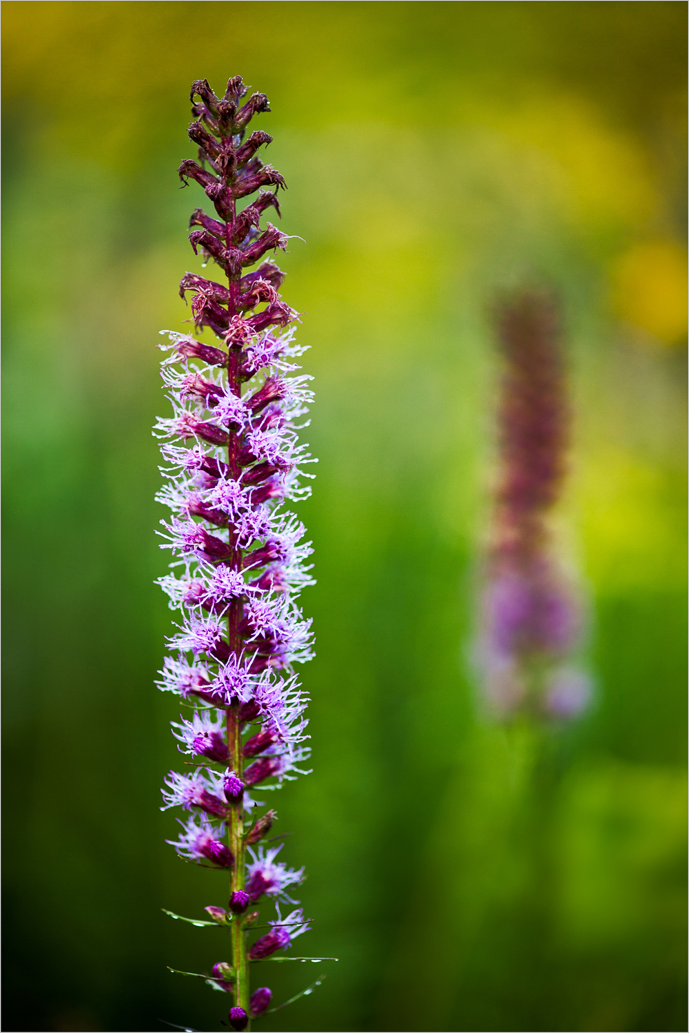 Liatris spicata, the 'Blazing Star'