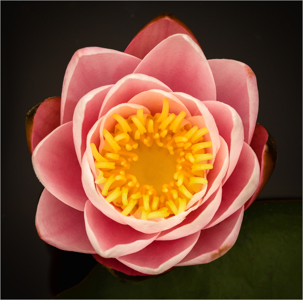 Lotus Flower    © Howard Grill