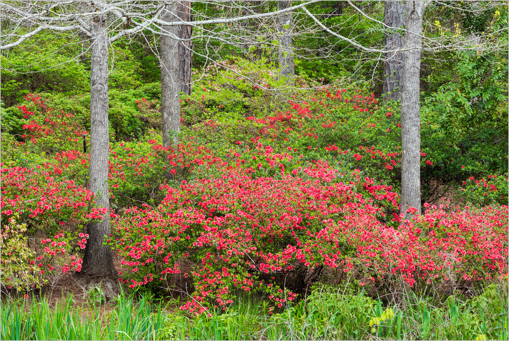 Azaleas And Trees    © Howard Grill