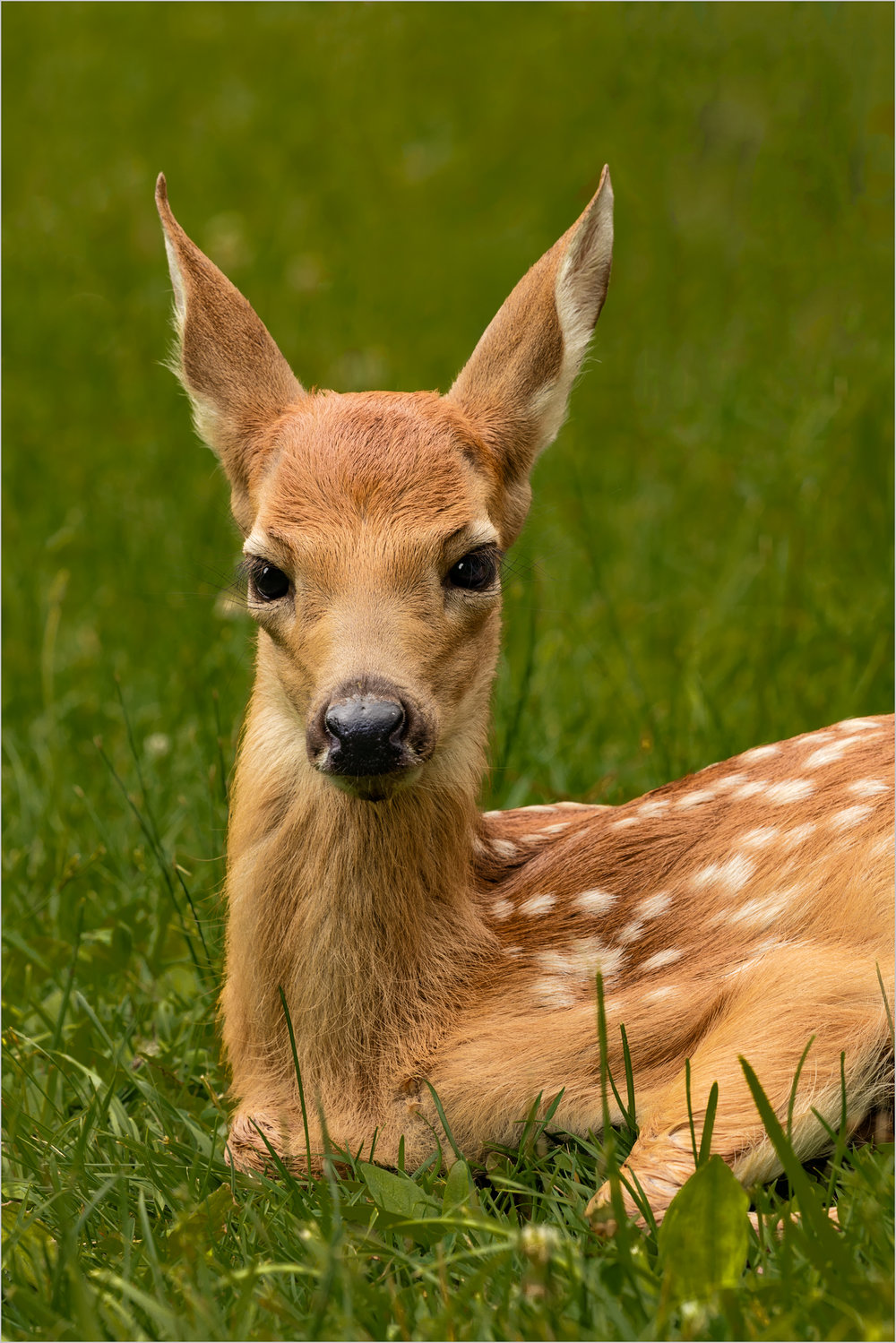 The Fawn At Dawn    © Howard Grill