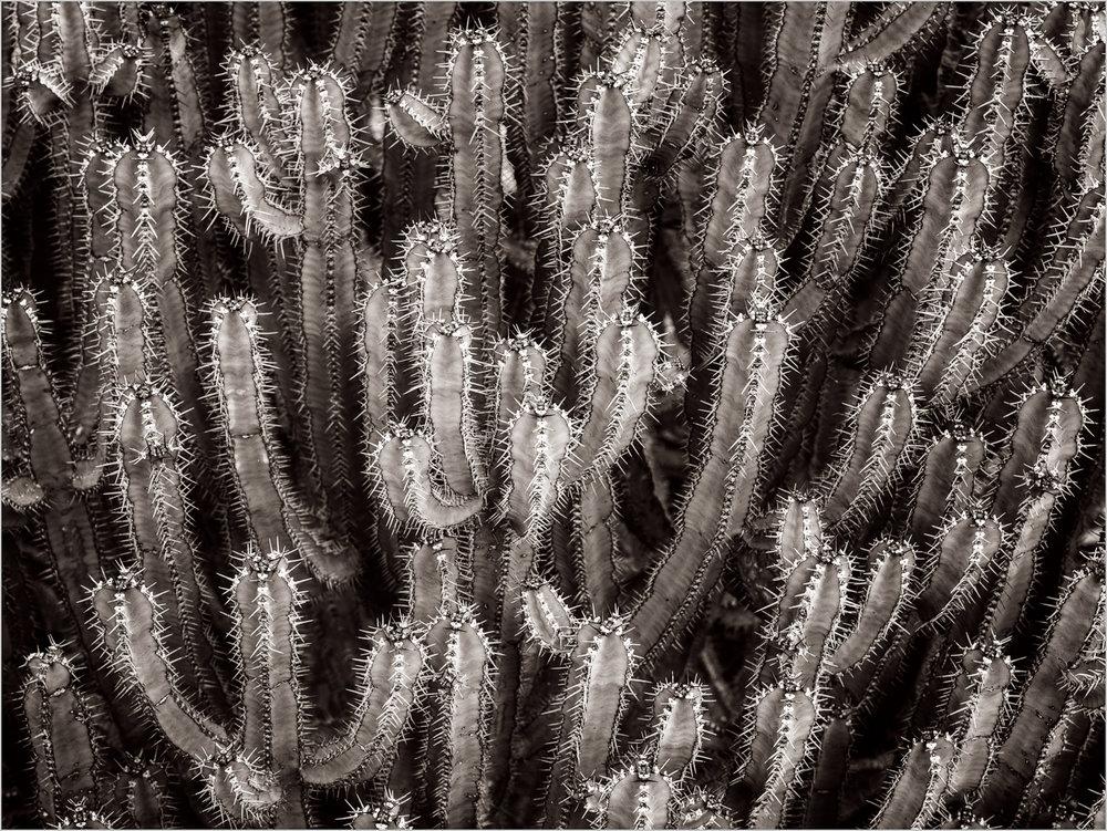 Euphorbia canariensis   © Howard Grill