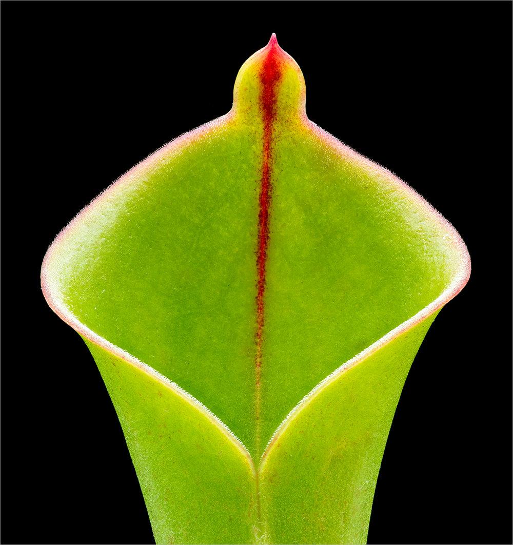Heliamphora heterodoxa © Howard Grill