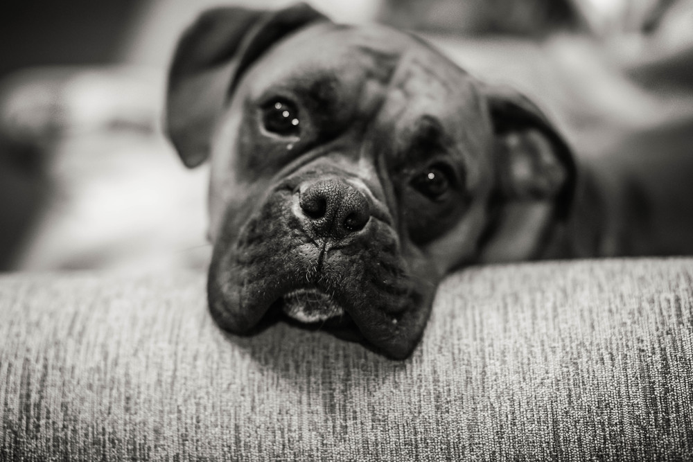 black and white boxer in raleigh
