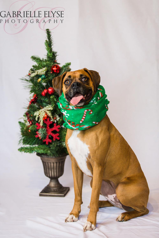 christmas boxer raleigh