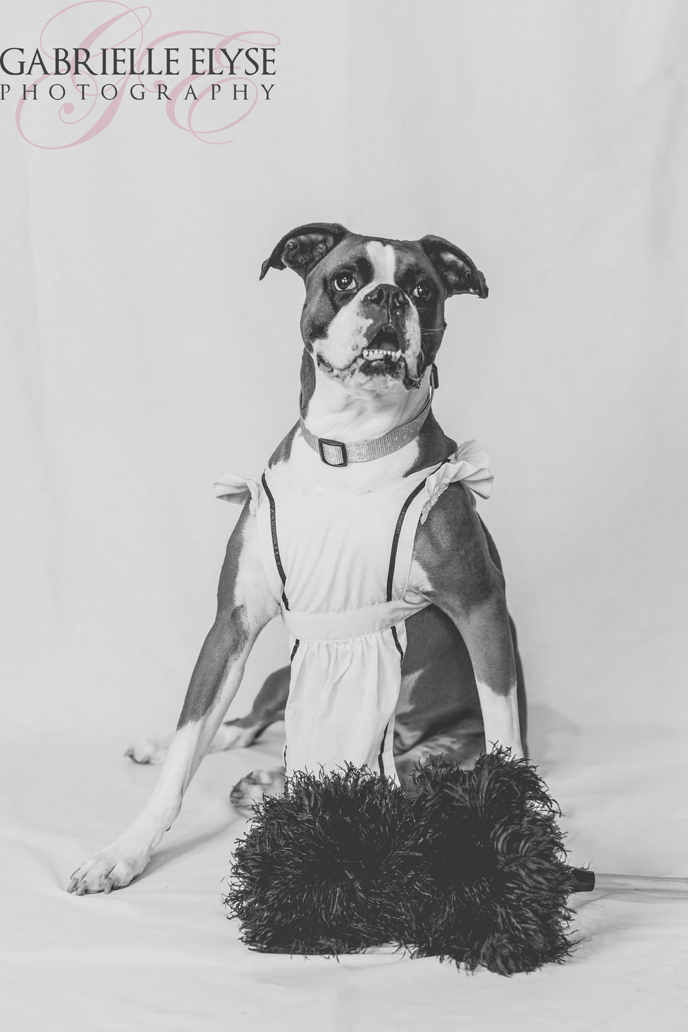 boxer maid dog photo shoot