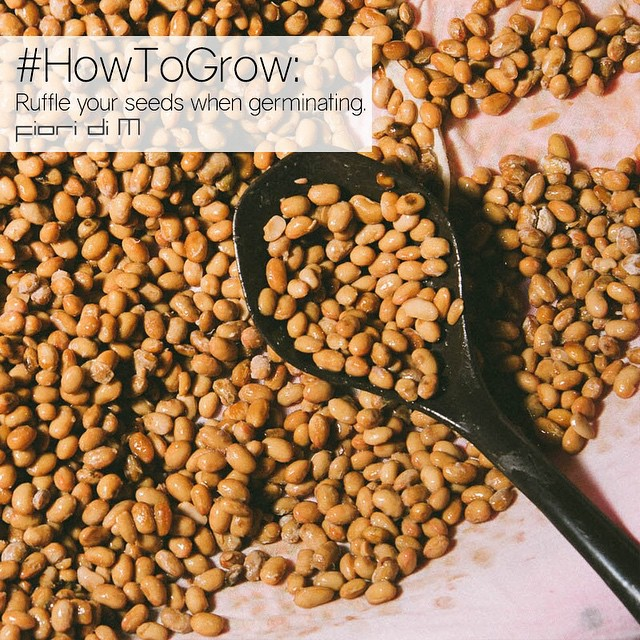 While you're germinating seeds, a little ruffle can go a long way to make your soon-to-be plant strong and sturdy.  Ruffling the seeds as they're sprouting helps them become more stocky. #HowToGrow #FioriDiM