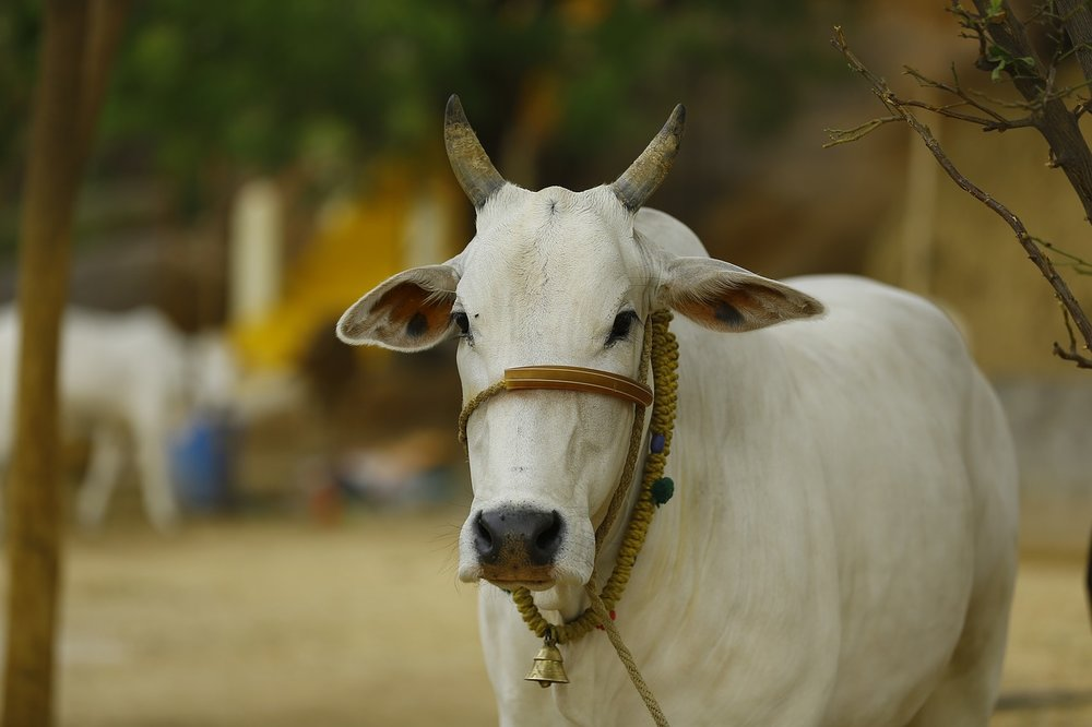 indian-cow-2579534_1280.jpg