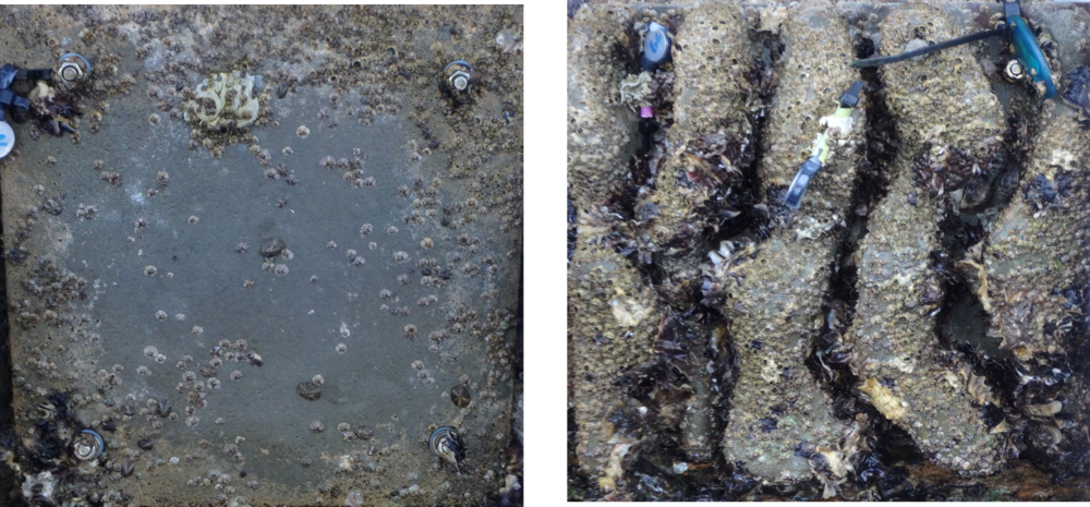 Above: Oyster colonisation rates on a flat concrete seawall compared to a 3D printed seawall. Image courtesy of SIMS