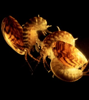 Killer shrimp attacking zebra mussels. Credit: Jamie Dick and Dirk Platvoet