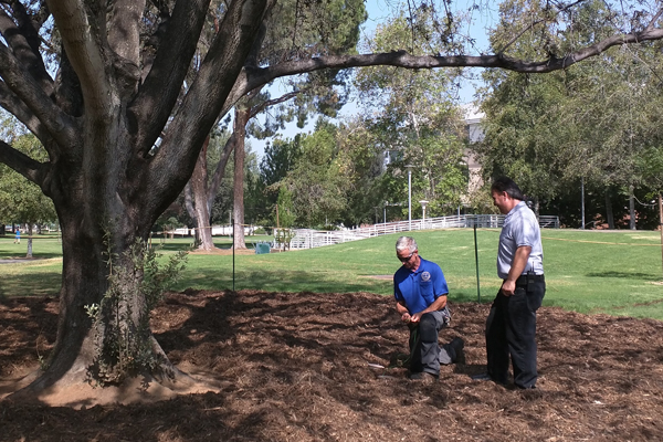 Toshio Ishida and Mark Jones discuss the placement of a soil sensor beneath the oak tree. (Credit: University of California, Riverside)
