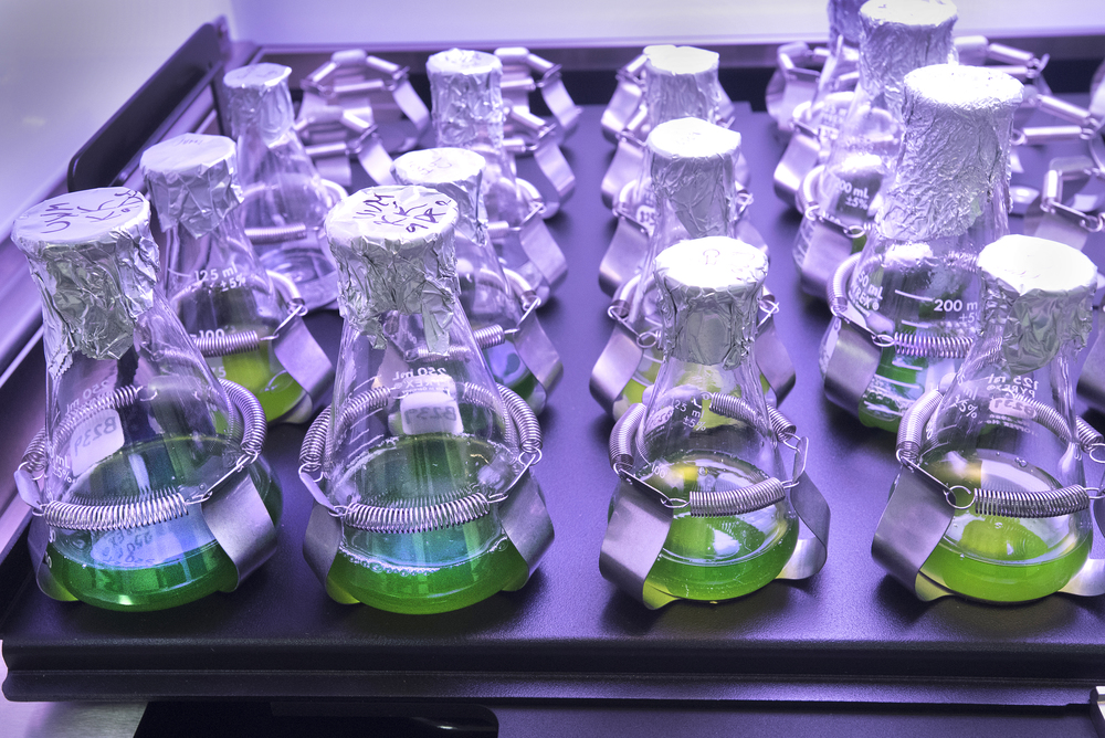 Dozens of flasks hold liquid cultures of  Chlamydomonas reinhardtii  , an algal species that serves as a model for understanding higher plants.