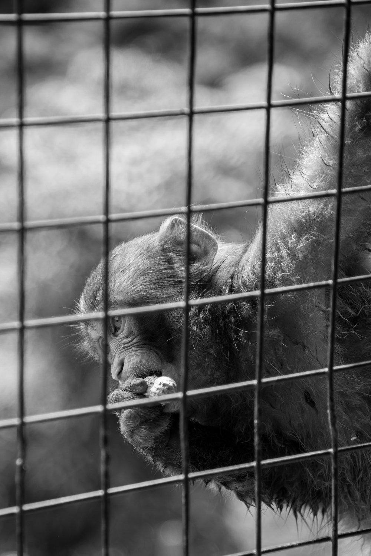 Baby Japanese macaque snacking at Arashiyama