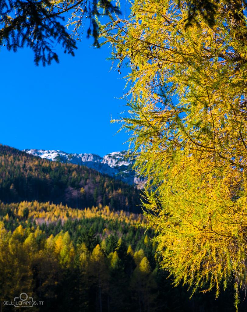 Bunte Lärchen - Im Hintergrund der Schneeberg