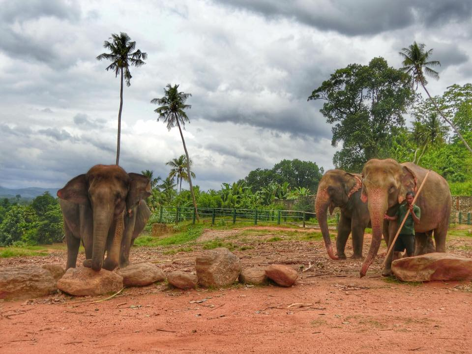 9-iconic-places-to-visit-in-sri-lanka-for-first-time-visitors-pinnawala-elephant-orphanage