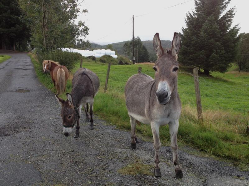 To esel og ein ponny hadde tulla seg ut på E134 i morgontimane, det virka ei stund som dei haika. Men vi har ikkje for vane å ta opp haikarar, som esel eller ponny i bilen vår. Så far vel, kjære medtrafikantar og gå inn på beitet att, sjølv om det er smått der, samanlikna med Bremen! (Foto: Magne Fitjar)